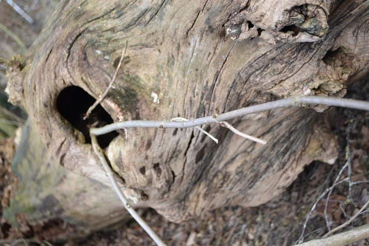 En hyld i elmetræet